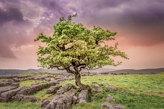 Hawthorn-Tree- (deanallanphotography) Tags: art adventure anawesomeshot artisticexpression beauty colors clouds expression flickrsbest greatbritishlandscape impressedbeauty landscape light limestone ngc natgeo nature nikon outdoor outdoors photography peaceandquiet peaceful quiet rock rural scenic sunset travel tree uk view