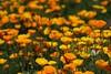 Friday`s Flower Power (♥ ♥ ♥ flickrsprotte♥ ♥ ♥) Tags: schlafmützchen kalifornischerkappenmohn botanischergarten kiel flickrsprotte2018