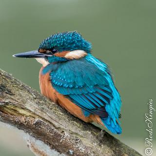 Kingfisher male juv