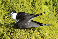 Onychoprion fuscatus (Sooty Tern) - Seychelles . (Nick Dean1) Tags: onychoprionfuscatus sootytern tern charadriiformes seabird thewonderfulworldofbirds birdperfect birdwatcher seychelles indianocean birdisland