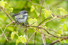 Yellow-rumped Warbler (female) (BirdFancier01) Tags: foliage green spring migration nature wildlife songbird warbler yellowrumped vines