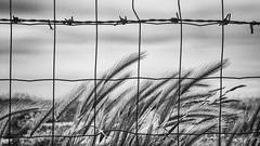 (Jacky Hervieux) Tags: wheat normandie seinemaritime antifer grillage bnw blackandwhite noiretblanc