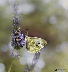 JB7_4706 (john_berg5) Tags: nature flower schmetterling butterfly light outdoor summer