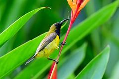 Olive-backed Sunbird (Cinnyris jugularis) male (R-Gasman) Tags: travel bird olivebackedsunbird cinnyrisjugularis male nationalorchidgarden singapore