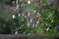 Sea of blossom (hehaden) Tags: daisy erigeron erigeronkarvinskianus seaofblossom perennial garden bordehill haywardsheath sussex summer sel70200g
