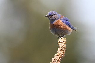 Westerm Bluebird