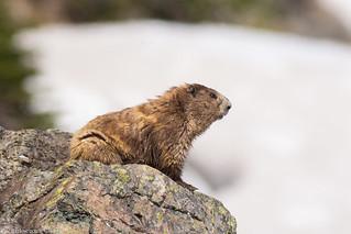 Olympic marmot hurricane ridge Olympic national park washington