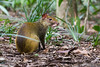 Dasyprocta azarae (azambolli) Tags: dasyprocta cutia cotia agouti animal brasil nature natureza mammal mamifero rodentia rodent roedor