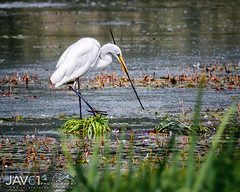 Catching a meal_6803 (George Vittman) Tags: bird egret heron water marsh lake lunch diner fish nikonpassion wildlifephotography jav61photography jav61 ngc