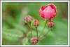 FLOWER_Red Rose (gilbertdorleansphotography) Tags: fleurs montréal canon canonlens dorleans flora flowers garden jardin macro macrophotography nature photo photographe photographie photography photos spring summer