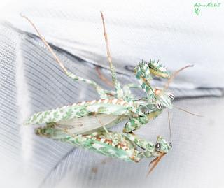 Blepharopsis mendica (Thistle Mantis, Lesser Devils Flower Mantis) (Adult pairing)