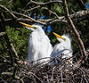 Great egret chicks in a nest (Lee J2) Tags: greategret nest kiwanislake york pennsylvania chicks feathers