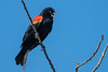 Red-winged Blackbird (mjeedelbr) Tags: redwinged blackbird