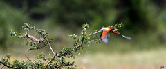 Guêpier d'Europe_Merops apiaster (nicéphor) Tags: wildlife canon vögel birds nature faune guêpier paysage oiseaux eos7d tamron150600mm