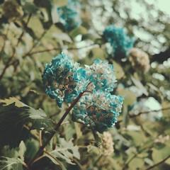 Blue Hydrangea (central-hi) Tags: iphone dxoone lightboxr blue flower floral plant lovely