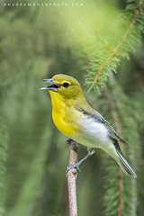 Yellow throat (Khurram Khan...) Tags: songbirds wildlife wildlifephotography wild winter wwwkhurramkhanphotocom spring ilovenature khurramkhan migration color evergreen spruce tree