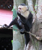 2018-050802 (bubbahop) Tags: 2018 puntarenas costarica hotel punta leona animal monkey