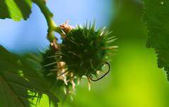 chestnut cupule #MacroMondays #AllNatural (Argentarius85) Tags: nikond5300 sigma105mmf28exdgoshsm macromondays allnaturals chestnut cupule fruchtbecher kastanie macro makro nahaufnahme natur nature closeup details
