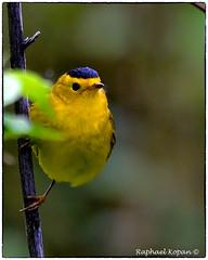 Wilson Warbler (RKop) Tags: mageemarsh ohio raphaelkopanphotography d500 nikkor600f4evr 14xtciii warblers warbler wildlife