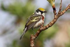 Chestnut-sided Warbler (rwkphotos) Tags: novascotia canada chestnutsidedwarbler setophagapensylvanica