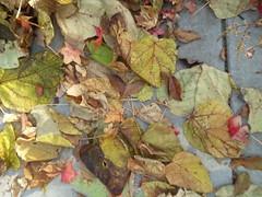 11-11-17 Dayton 15 leaves, fall color (Chicagoan in Ohio) Tags: dayton clouds sun sunhalo leaves fallcolor