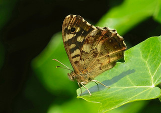 Speckled Wood --- Pararge aegeria