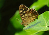 Speckled Wood --- Pararge aegeria (creaturesnapper) Tags: butterflies nymphalidae speckledwood lepidoptera uk europe parargeaegeria
