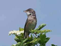 Whitethroat....Attenborough Nature Reserve (Scuba`Steve`) Tags: