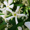 White Flowers (Alfredo Liverani) Tags: macromondays macro mondays closeup mm hmm italy pov dof allnatural canong5x canon g5x pointandshoot point shoot ps flickrdigital flickr digital camera cameras