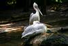 Schläfchen (Alfred Bold / Neubruch Photography / Moosburg GANZ) Tags: animal ruhe stille wasser tiere vögel birds zoo augsburgzoo augsburg sonya7 minolta