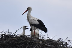 DSC_0197 (nightheron22) Tags: storks nesting adults chicks feeding