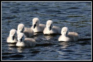 IMG_0009 Mute Swan Cygnets