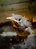 Vulnerability (kitwilliams91) Tags: blackbird fledgling chick bird turdismerula vulnerable