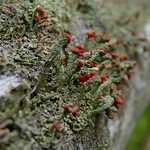 British Soldier Lichen thumbnail