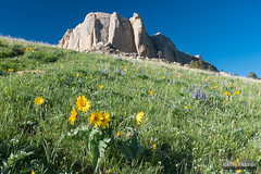 Steamboat Arrowleaf (kevin-palmer) Tags: wyoming spring may nikond750 evening bighornmountains bighornnationalforest steamboatpoint peak scenic view green grass cliff tamron2470mmf28 wildflowers flowers colorful yellow arrowleafbalsamroot blue sky sunny dayton purple lupine
