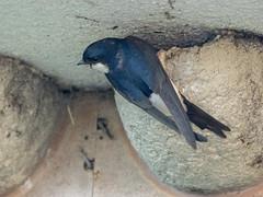 P6020928 (turbok) Tags: mehlschwalbe schwalbe tiere vögel wildtiere c kurt krimberger