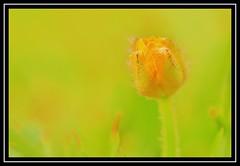 """Flowering..."" (NikonShutterBug1) Tags: macro closeup nikond7100 tokina100mm spe smartphotoeditor flower nature flora 100flowers2018"