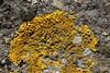 Xanthoria calcicola (Björn S...) Tags: flechte lichen lichene xanthoriacalcicola kalkgelbflechte