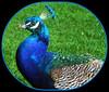 "Head Shots Only,  Please! (FernShade) Tags: peacock ""indianpeacock"" bird avian ""familyphasianidae"" nature ""peacockheadphoto"""