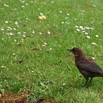 Young blackbird thumbnail