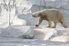 The Ice Bear (peterkelly) Tags: digital canon 6d northamerica detroit detroitzoo michigan usa us unitedstates unitedstatesofamerica polarbear captive