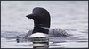 CommonLoon_6D_4870 +15,600 Views!! Thank you!! (CrzyCnuk) Tags: commonloon loon alberta canon canon6d wildlife canada crimsonlake