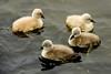 Cygnets_DSC4347 (adventure_photography) Tags: cygnets swan swans ambleside pond