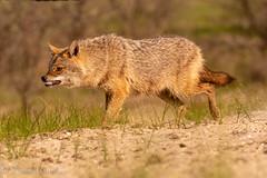 chacal (barragan1941) Tags: deltadeldanubio chacal fauna mamiferos