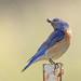 Western Bluebird enjoying a pill bug