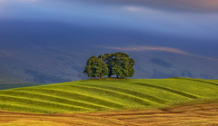 Copse of Trees, Gallows Hill, Yorkshire 'a la' Tuscany (near Kirkby Stephen, Yorkshire) (MelvinNicholsonPhotography) Tags: yorkshire nateby trees copse hillock dales yorkshiredales grass sunlight