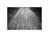 22. Spring (kotmariusz) Tags: road woods droga ścieżka płatki wiosna las polska poland bw blackandwhite monochrome monochrom monochromatic monochromatyczny olympusom40 ilfordxp2