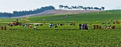 Strawberry Harvesters (Michael T. Morales) Tags: agriculture strawberries strawberryharvest farms farmers harvest marinacalifornia farmworkers