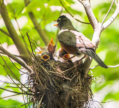 Mother and Baby Birds in a Nest (JuanJ) Tags: nikon d850 lightroom art bokeh nature lens light landscape white green red black pink sky people portrait location architecture building city iphone iphoneography square squareformat instagramapp shot awesome supershot beauty cute new flickr amazing photo photograph fav favorite favs picture me explore interestingness wedding party family travel friend friends vacation beach robin bird baby next kentucky scottcounty georgetown animal