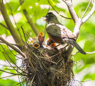 Mother and Baby Birds in a Nest